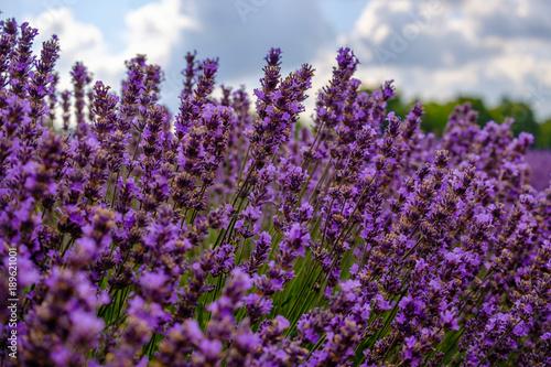 Fotobehang Lavendel Fleurs de lavande en été.