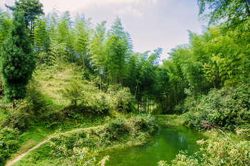 Bamboo forest scenery in summer