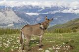 Esel auf einer Bergwiese im Trentino - 189632070