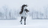 Winter cloudy landscape and runnig grey long-maned Andalusian stallion. - 189634842