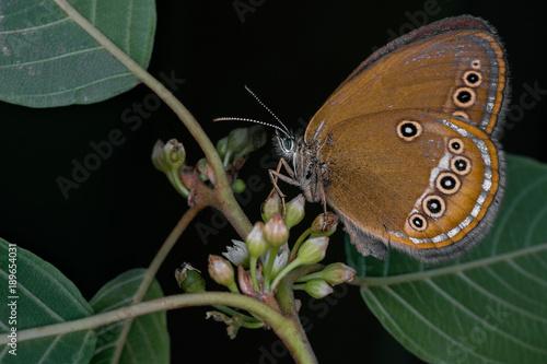 Aluminium Vlinder Farfalla Macro