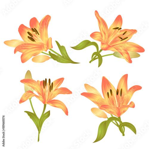 Żółta Leluja Lilium candidum, kwiat z liśćmi i pączkiem na białym tle ustawia najpierw wektorową ilustracyjną editable rękę rysującą