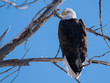 A Majestic Bald Eagle Perched in a Tree