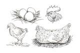 Vector chicken breeding hand drawn set. - 189670612