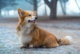 corgi fluffy dog - 189679807
