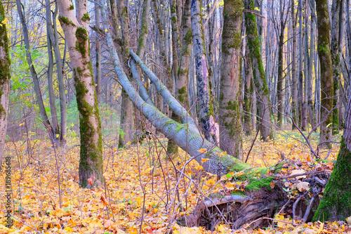Foto op Plexiglas Lavendel Fallen tree in autumn Park.