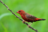 Red avadavat bird - 189698294