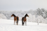 Cute horses on the snowy meadow