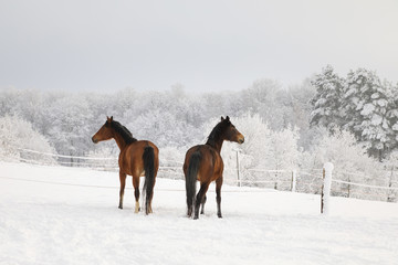 Cute horses on the snowy meadow