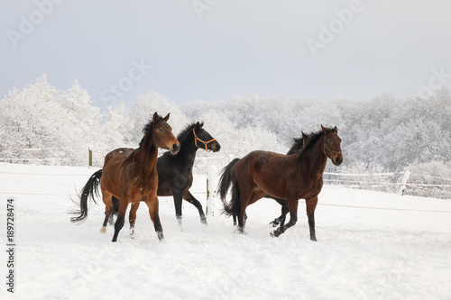 Horses are galloping on snow-covered meadow