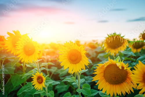 Fotobehang Purper A plantation of beautiful yellow-green sunflowers after sunset at twilight against a beautiful light sky with fluffy clouds