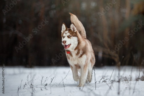 A dog of the Husky breed in a beautiful winter forest Poster