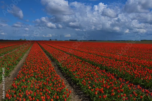 Fotobehang Tulpen Clouds and tulips