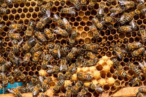 Aluminium Bee closeup of bees on honeycomb in apiary