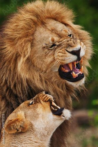 Fotobehang Lion lions feelings