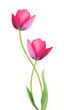 Two tulip flowers isolated on white background