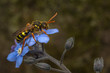 Nomada cuckoo-bee on a forget-me-not flower