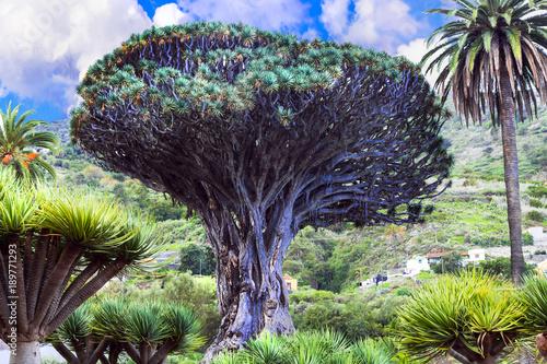 Fotobehang Freesurf landmarks of Tenerife - famous Dragon tree in Icod de los Vinos, botanical garden