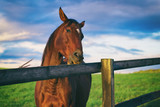 Horse chews the wooden fence. English thoroughbred on the pasture.  - 189790279