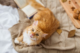 red tabby cat lying ...