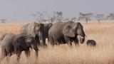 An elephant walks past his herd in the Serengeti. - 189805674