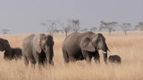 A herd of elephants munch on grass in the dry plains of the Serengeti. - 189805678