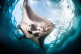 Manta Ray swimming underwater in the ocean