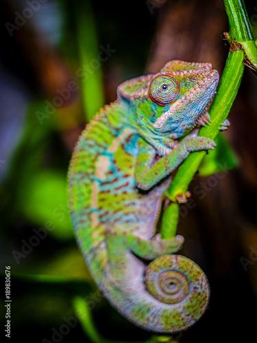 Fotobehang Kameleon Leon Chameleon