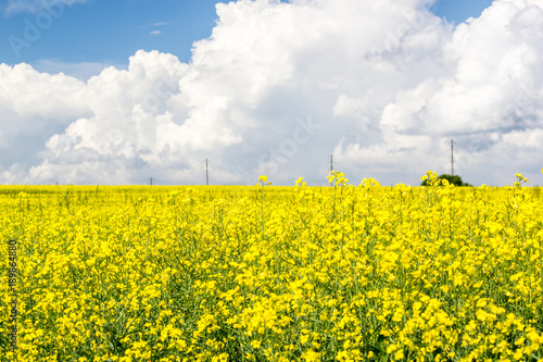 Papiers peints Jaune Rapeseed field under Cumulus clouds on a Sunny summer day