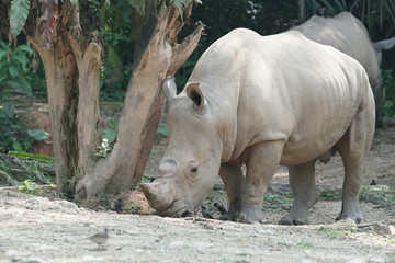 A group of The white rhinoceros or square-lipped rhinoceros (Ceratotherium simum). They are the largest extant species of rhinoceros.