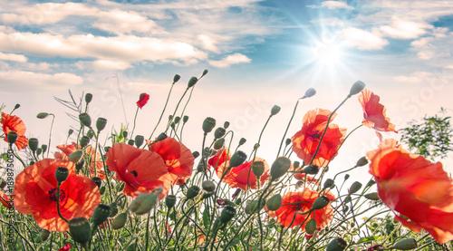 Foto op Plexiglas Klaprozen Summer happiness: meadow with red poppies :)