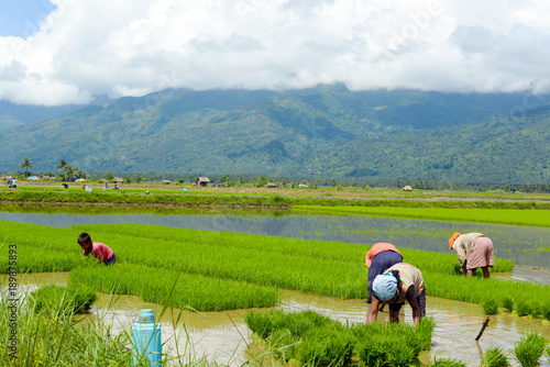 Fotobehang Rijstvelden family manual labour in the Philippine rice fields