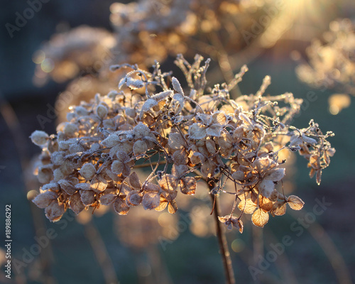 Fotobehang Hydrangea Frosted back lit dried flower head of Hydrangea arborescens Annabelle on a cold winters morning.