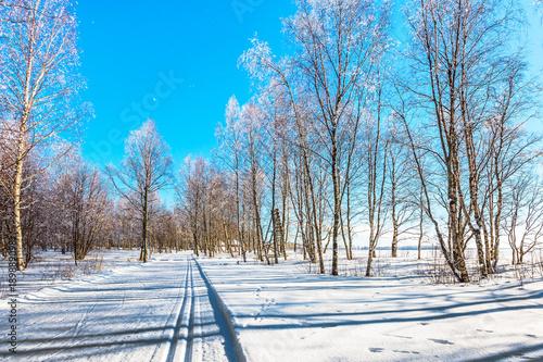 Papiers peints Bosquet de bouleaux Transparent cold forest