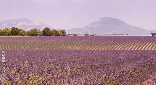 Foto op Canvas Purper fields of lavender in the Provence, France