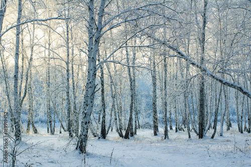 Winter birch forest in Russia