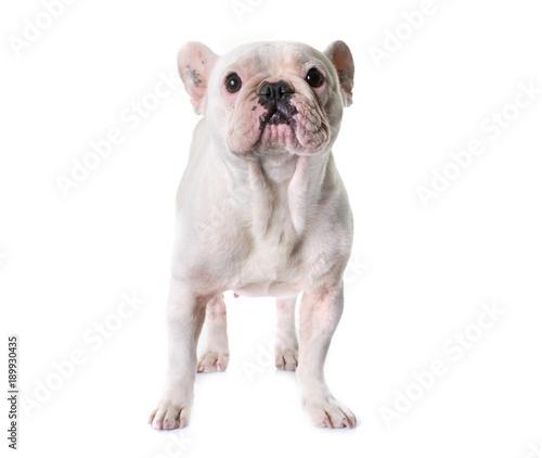 Foto op Plexiglas Franse bulldog french bulldog in studio