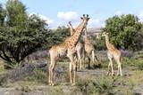 Giraffe - 189931429