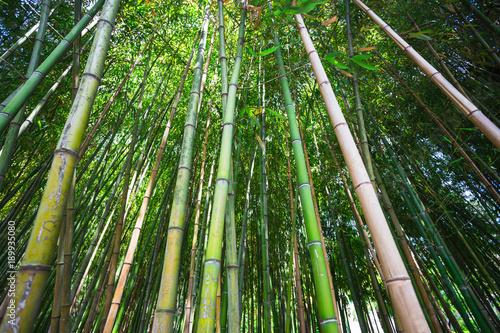 Fotobehang Bamboe The dense bamboo grove in Sochi arboretum