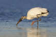 Wood Stork foraging in a shallow lagoon - Florida
