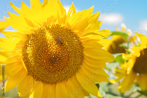 Tuinposter Meloen Sunflower field landscape - tiny bee sitting on a sunflower