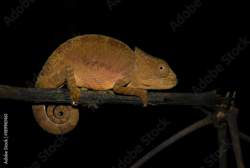 Aluminium Kameleon Short-horned Chameleon - Calumma brevicorne, Madagascar rain forest. Beautiful coloured lizard.