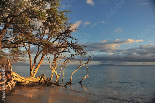 Fotobehang Strand Hawaii.Maui.Graceful tree on the shore of the Pacific Ocean in the rays of the setting sun