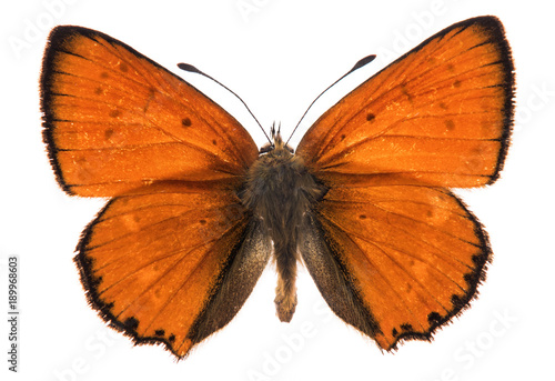 Aluminium Fyle Male large copper butterfly isolated