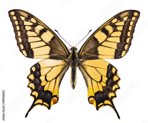 Aluminium Fyle Swallowtaill butterfly isolated on white