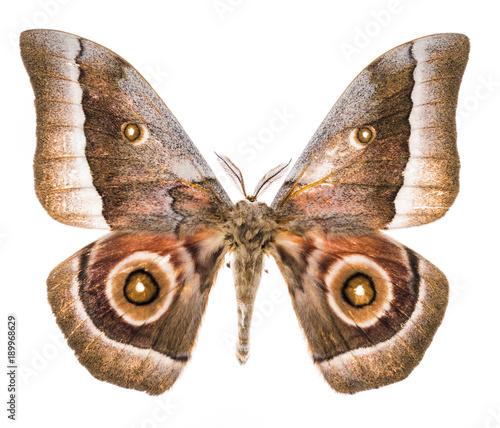 Aluminium Fyle Emperor moth moth isolated on white