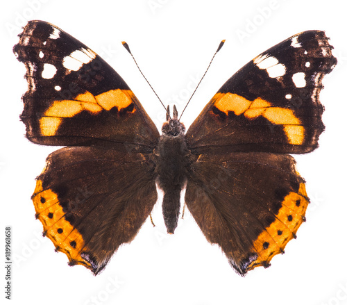 Fotobehang Fyle Red admiral butterfly