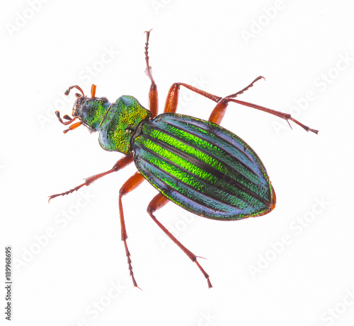 Aluminium Fyle Golden ground beetle Carabus Auronitens isolated on white