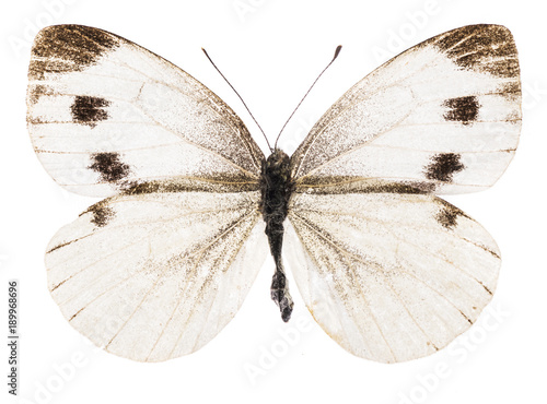 Aluminium Fyle Small white butterfly