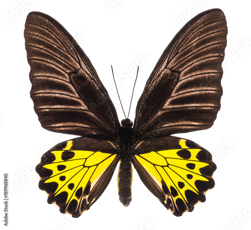 Fotobehang Fyle Troides Helena birdwing tropical butterfly isolated